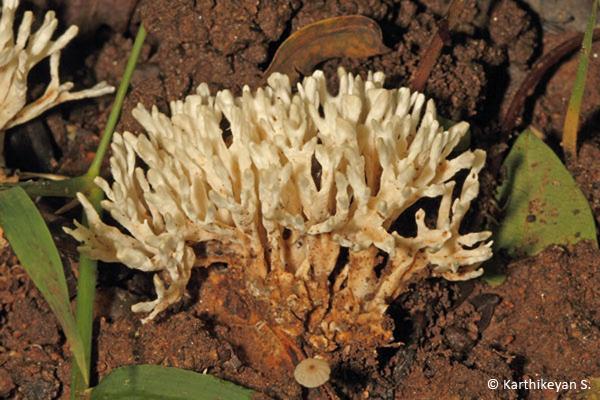 Coral Fungi Clavaria sp.