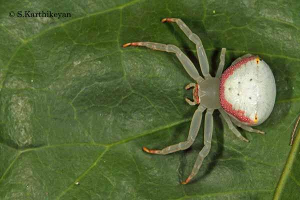 Crab Spider Misumena sp.