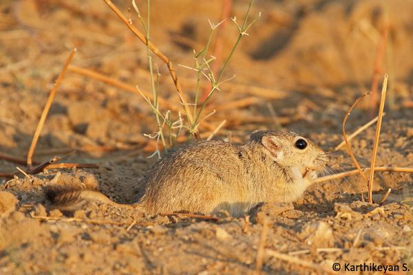 Indian Desert Jird