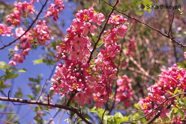 Flowering Trees I Karthiks Journal