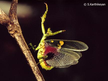 praying-mantis-threat-display.jpg