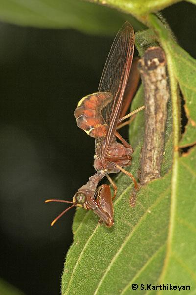 Mantisfly from Dubare