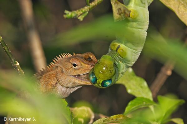 The Garden Lizard attacking the larva.