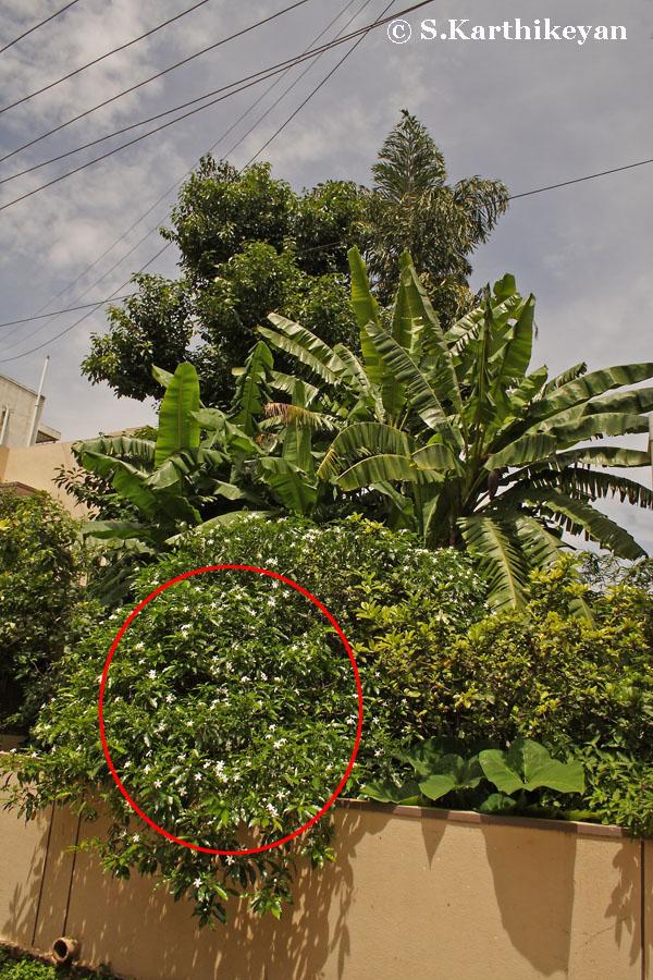 Tabernaemontana bush.