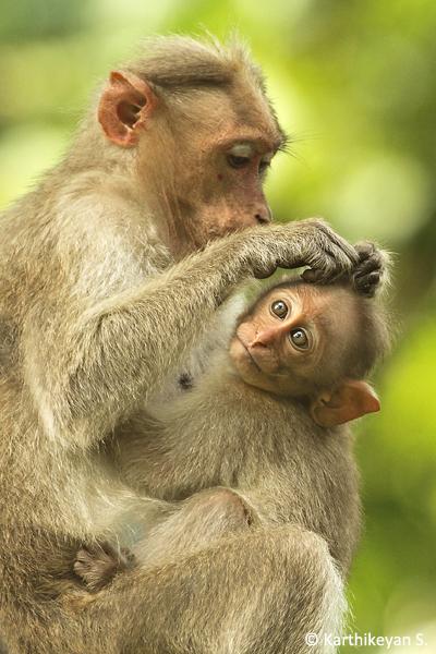 Bonnet Macaques.