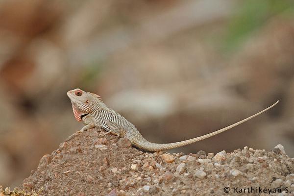 The Common Garden Lizard has made a quiet exit.
