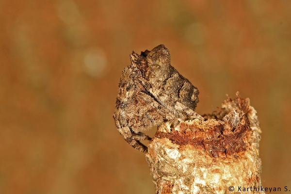 The Tree-stump Spider Poltys nagpurensis - profile.