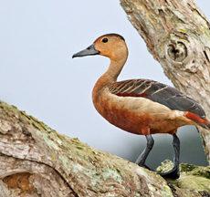 Tree ducks