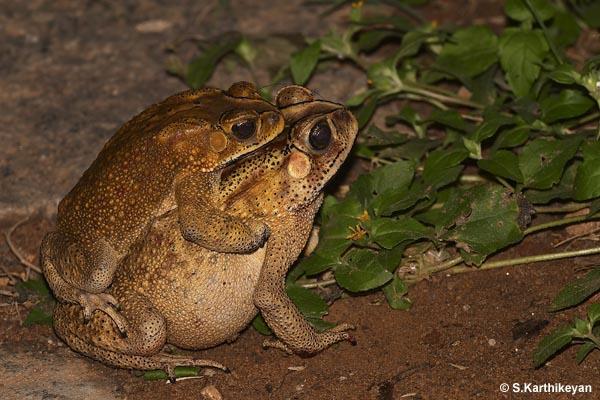 Common Indian Toad in amplexus