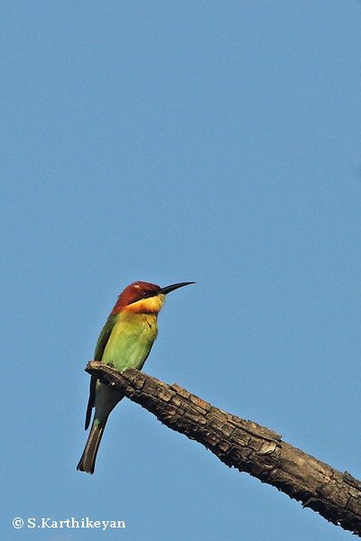 Chestnut-headed Bee-eater
