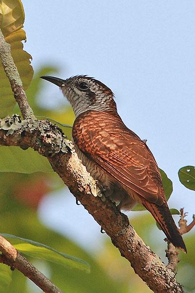 Bay-banded Cuckoo