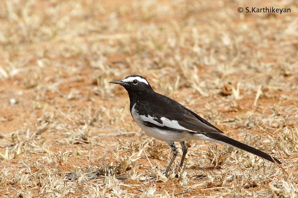 Large Pied (or Whitebrowed) Wagtail