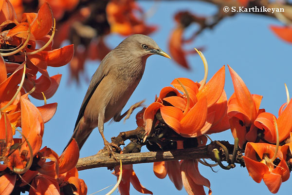 Chestnut-tailed Starling and Butea blossoms