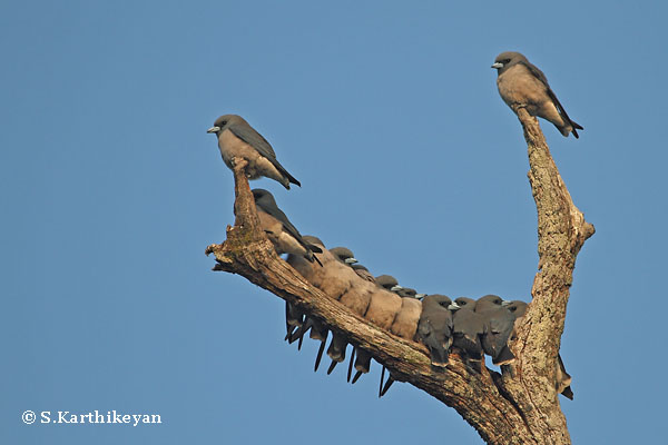 Ashy Wood Swallows