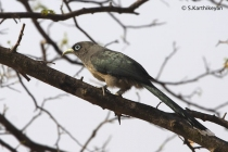 Small Greenbilled (or Bluefaced) Malkoha