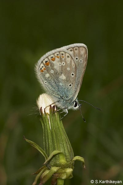 Meadow Blue