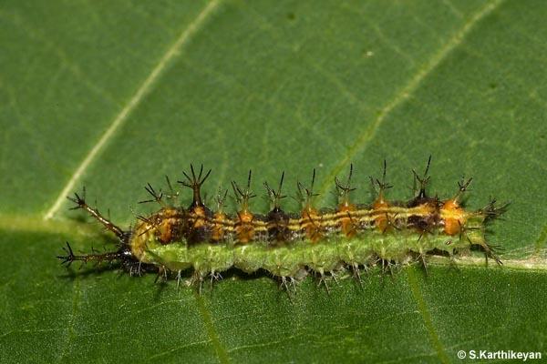 Common Castor larva