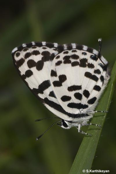 Common Pierrot-5 copy_54_119