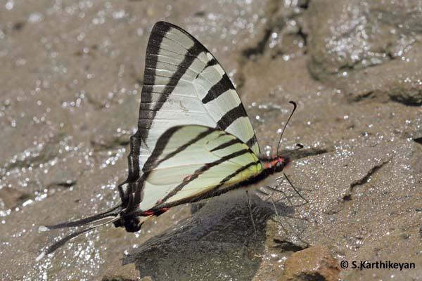 Four-bar Swordtail