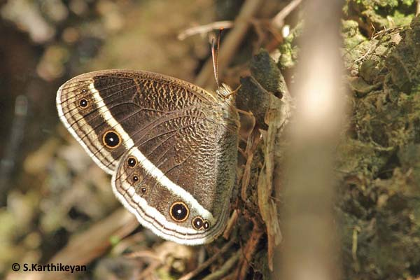 White-edged Bushbrown