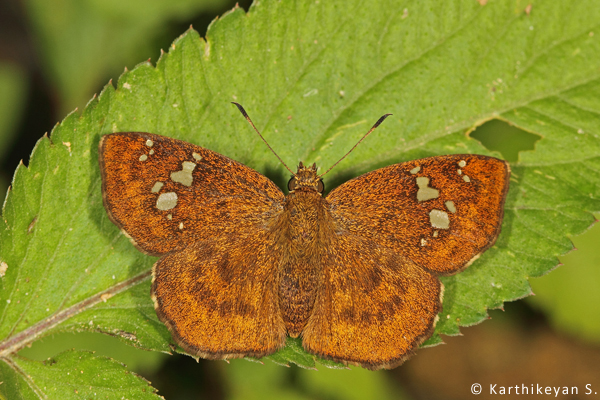 Fulvous Pied Flat