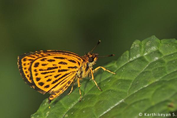 Tiger Hopper