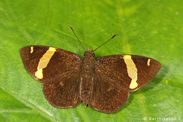 Dark Yellow-banded Flat