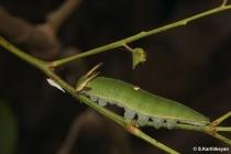 Black Rajah larva