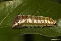 Spot Swordtail larva