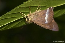 Common Banded Awl