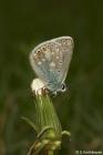 Meadow Blue