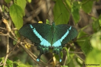 Common Banded Peacock