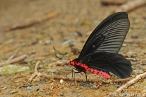 Common Batwing
