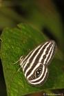 Striped Ringlet