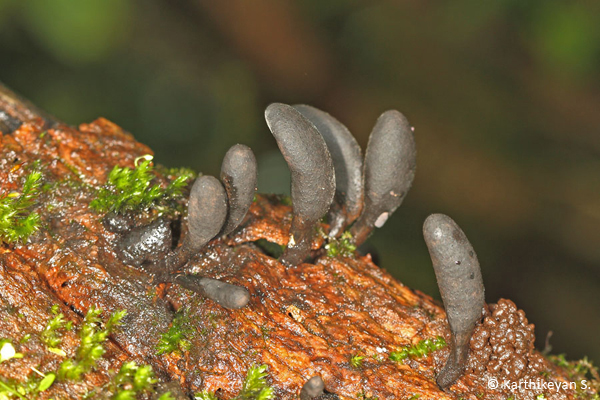 Club Fungi Xylaria sp.