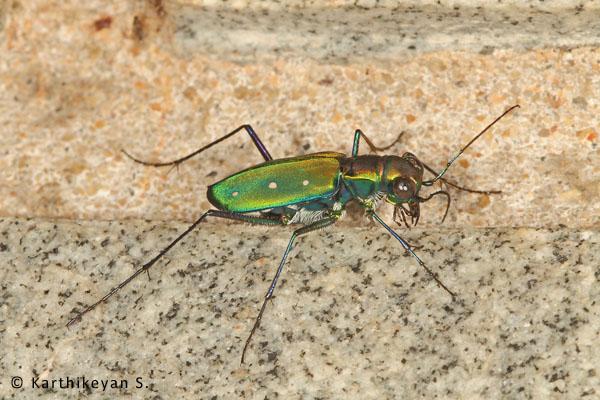 Tiger Beetle Cicindela flavomaculata