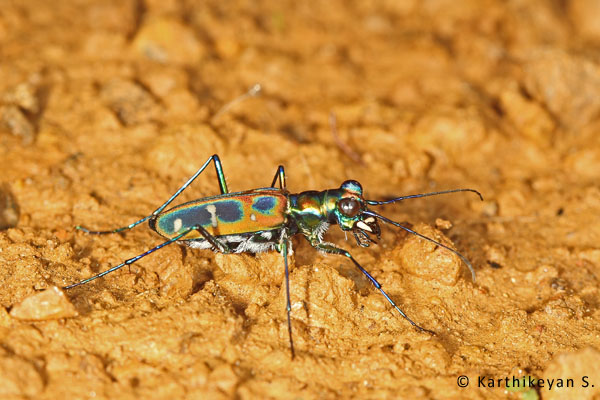Tiger Beetle Cicindela duponti