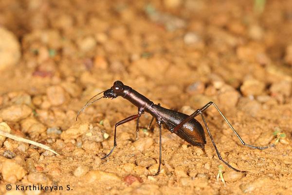 Tiger Beetle Tricondyla sp.