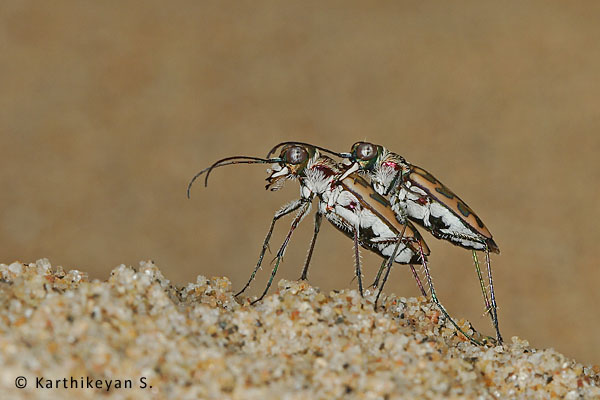 Tiger Beetles mating
