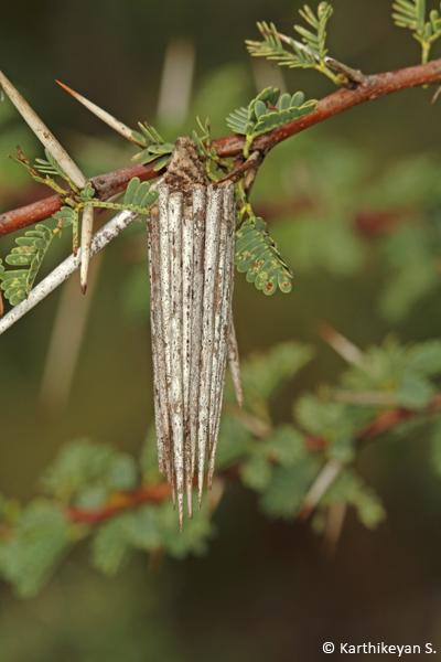 Bagworm - bag made of Acacia