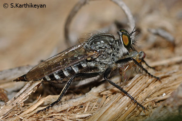 Robberfly with prey