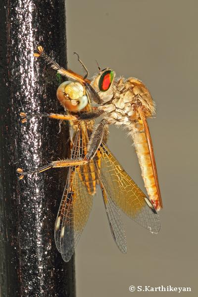 Robberfly feeding on Dragonfly