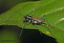 Tiger Beetle Cicindela hamiltoniana