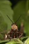 Grasshopper - closeup