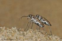 Tiger Beetles mating