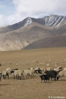 Sheep in the Cold Desert