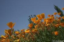 Poppies Eschscholzia californica