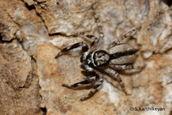 Black and grey jumping spider-1_263