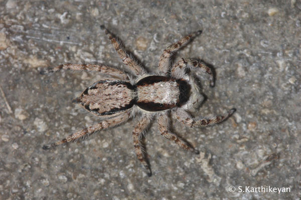 Jumping Spider Menemerus bivittatus