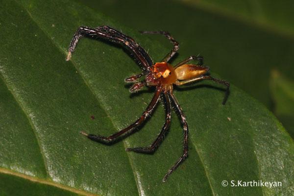 Jumping Spider Onomastus sp.